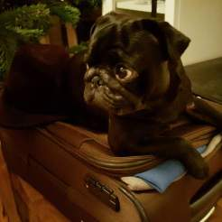 Dr Watson, the pug, wanting to go on tour