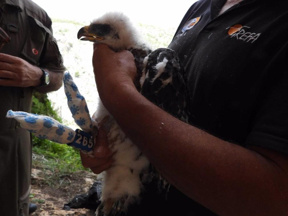 Granada.- Identifican al supuesto autor de la muerte de un águila tras un disparo gracias a un GPS