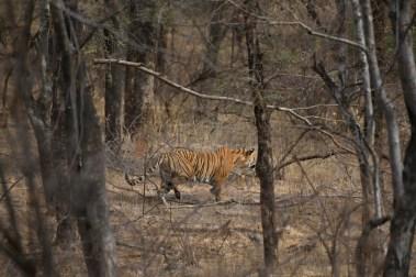 Le tigre de Ranthambhore