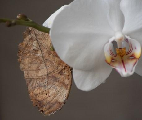 Papillon feuille ou le Carbet Amazonien 1