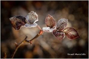 Feuilles de rosier gelées 1