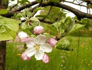 SU-fleur de pommier