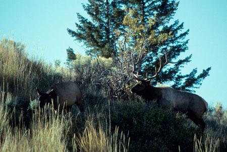 western elk hunting