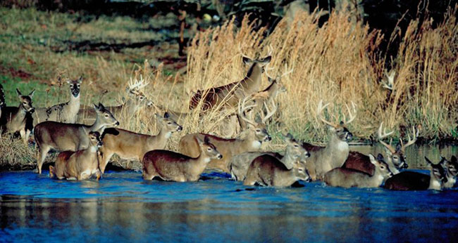 deer over population
