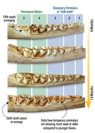Deer jawbone gallery