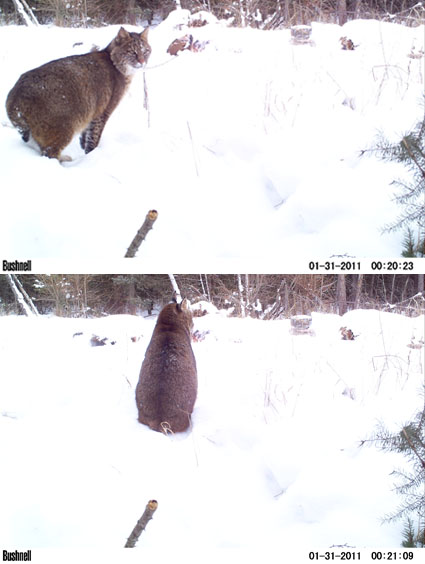 bobcat hunting michigan