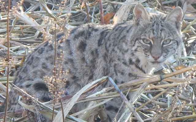 Bobcat Courtesy Allen Morris