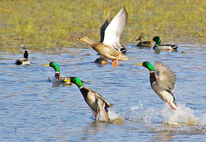 duck hunting