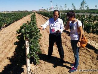 mogao-wuwei-gansu-visit-pinot-noir-vineyards-wang-runping-ma-huiqin-3