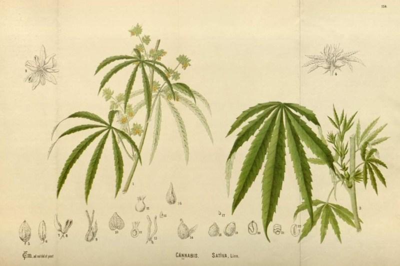 cannabis-chanvre