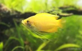 小型でかわいい熱帯魚ゴールデンハニードワーフグラミーを飼育★