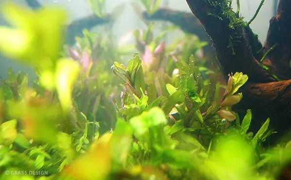 植えた有茎草の様子