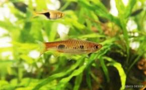 ラスボラ・カロクロマを飼育しよう!おすすめの熱帯魚☆