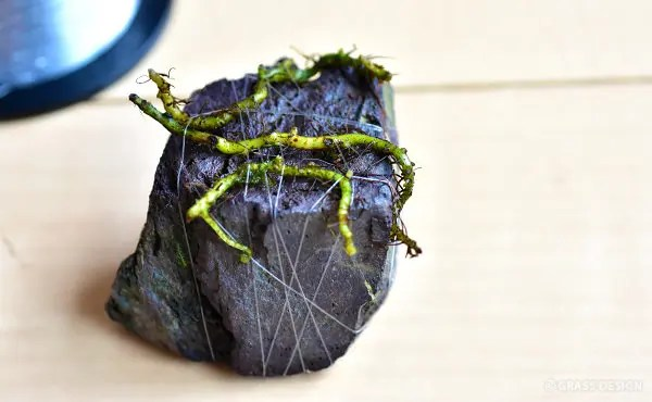 小石に結びつけたミクロソリウム
