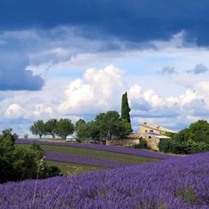 Lavander field in Haute Provence
