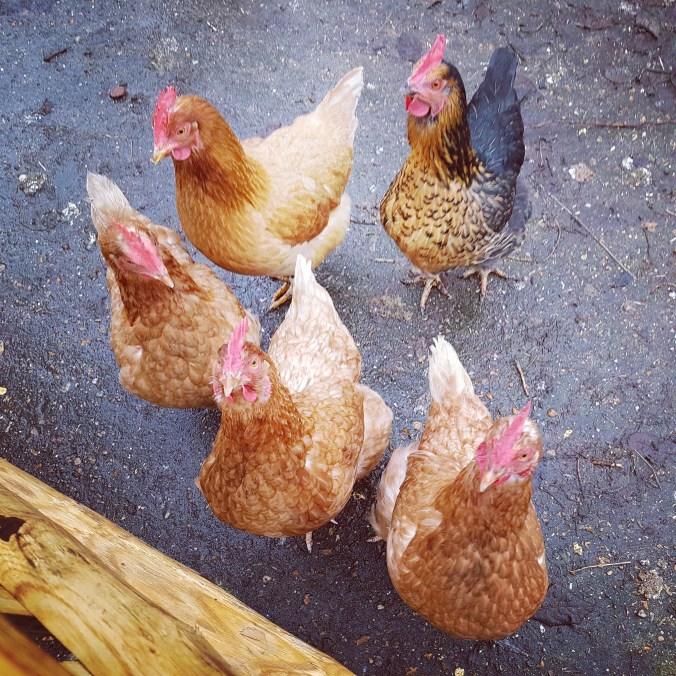 Wil Je Een Kip Adopteren Graswortels