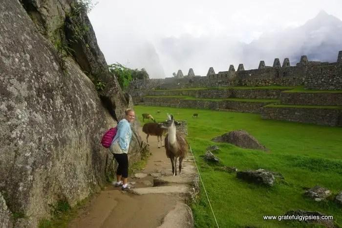 Jungle Trek to Machu Picchu llama
