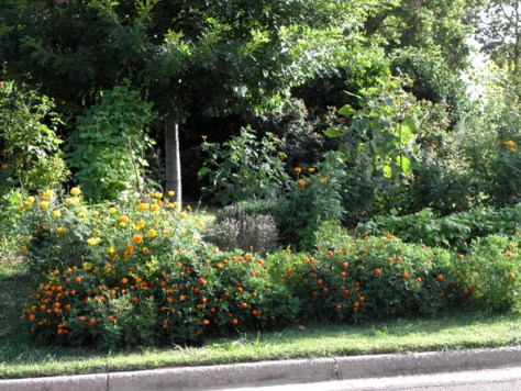 Petite marigolds in terrace two are extra vigorous due to bush beans planted behind them.