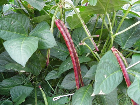 The pea pods are turning purple, which makes the peas that are ready to pick easy to spot.