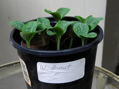 Waltham Butternut squash seedlings are ready for transplant only five days after the seeds were started in peat moss.