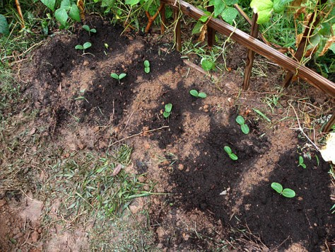 Waltham Butternut Squash seedlings after being transplanted to in-ground clay planter.