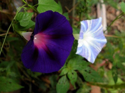 Star of Yelta and Flying Saucer Morning Glories near the front porch; the Star of Yelta was a volunteer.