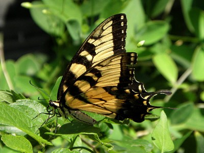 Eastern Swallowtail butterfly on a lantana leaf.  This female had been feeding on the lobelia next door and flew by long enough to have her picture made.