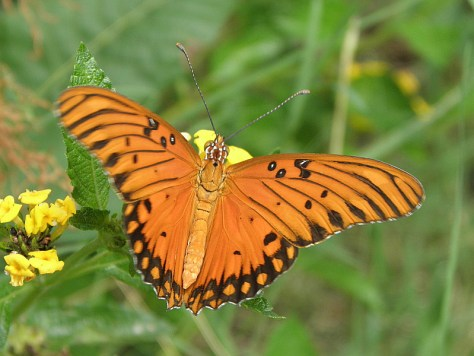 A Gulf Fritillary visits a New Gold lantana near the front porch.
