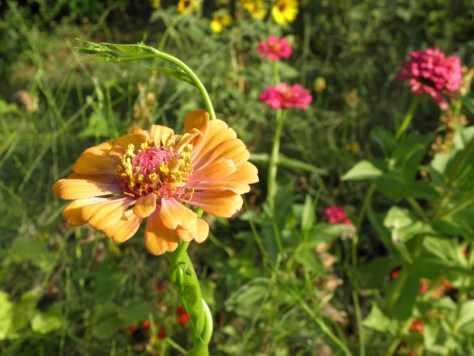 Zinnias in the wildflower garden are very tall and leggy; this one is standing with the assist of a morning glory vine.