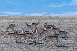 Small Herd of Pronghorn - South Park, Colorado