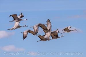 Flight of Sandhill Cranes