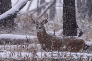 Whit-tailed Buck in Snow Storm