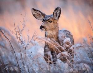 Mule Deer Doe in Winter
