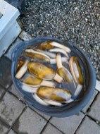Washington coast clam digging (4)