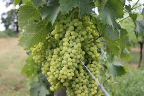 cognac_grapes