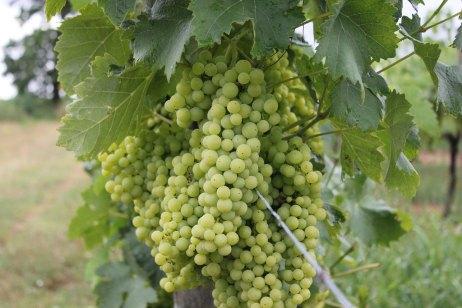 cognac_grapes