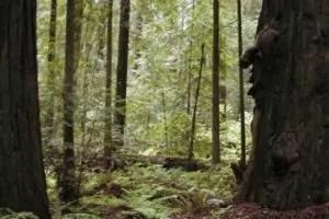 Redwood 2a