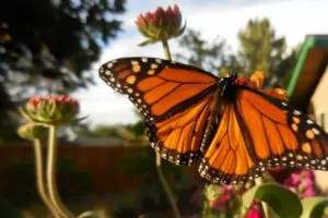 Monarch butterfly. Photo: Mary Alice Willson