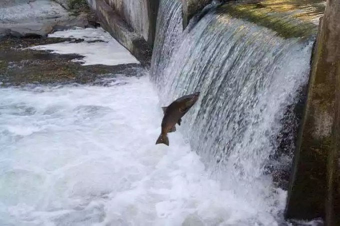 Salmon_Spawning_Broadwalk