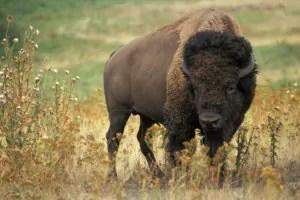 bison-60592_1280LR