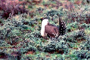 1024px-Sage-grouse_(15757505561)