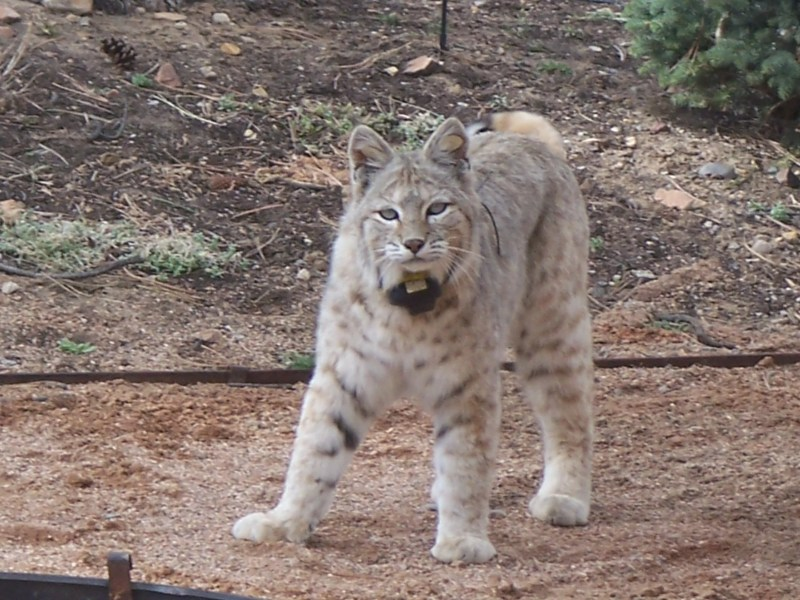 """January 18, 2021, Monday, 5:30 PM – 7 PM, Zoom talk """"Fear, Wild Things, and Coexisting With Predators"""" Featuring Dr. Joanna Lambert Co-Hosted by South San Juans Broadband and Norther San Juans Broadband"""