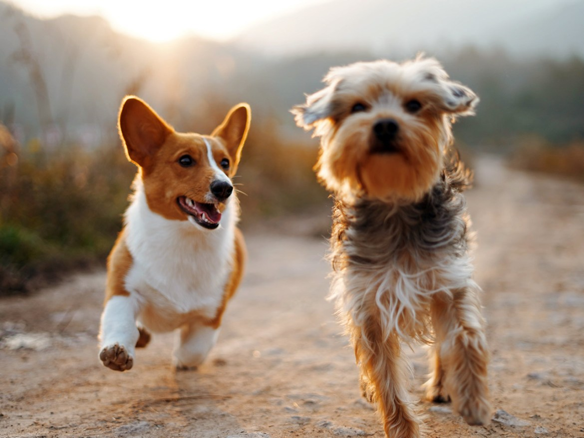Two small dogs running