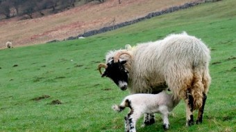 Lambing time