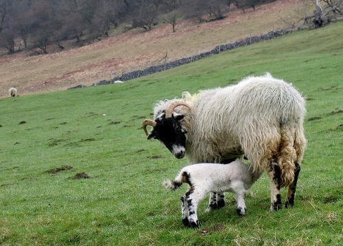 Lambing time in the Yorkshire Dales