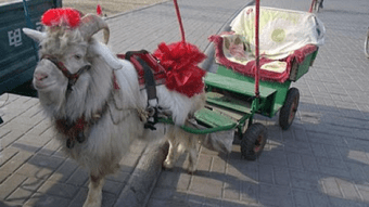 Chinese sheep taxi