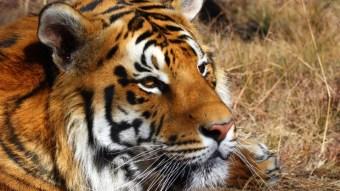 Magnificient tiger