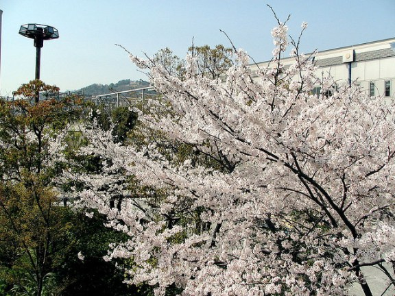 Cherry blossoms at Kawanishi-Noseguchi station