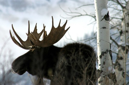 A Canadian moose