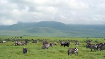 Herd of zebras on green African plain